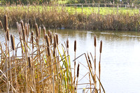 Looking out through the bullrushes across the lake from the shore