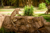 A young Cheetah eating