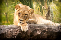 Lioness laying on a rock