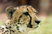 Close up of a Cheetah