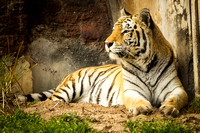 Portrait of a tiger laying down